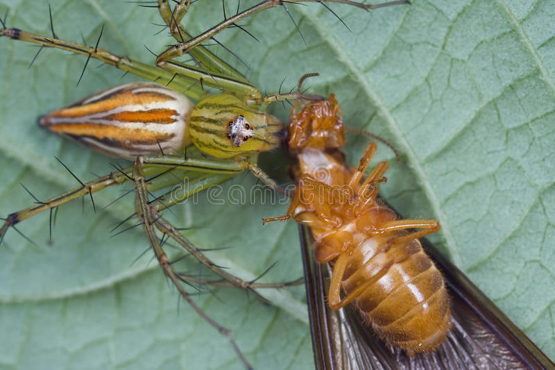Download Lynx spider with prey stock image. Image of leaf, macro - 12092627