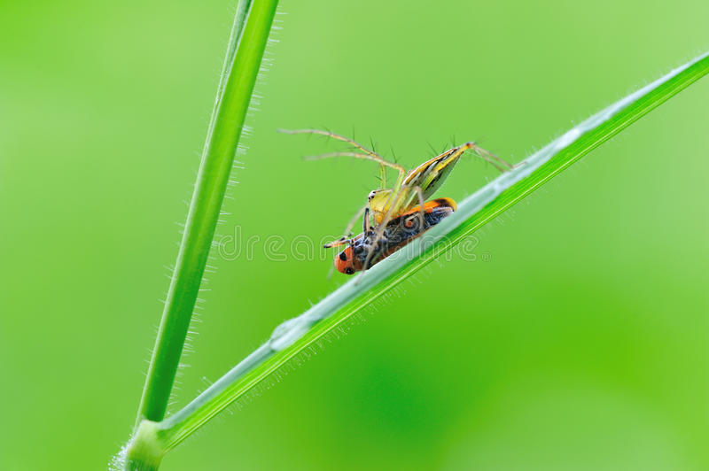 Lynx Spider With Prey Royalty Free Stock Image