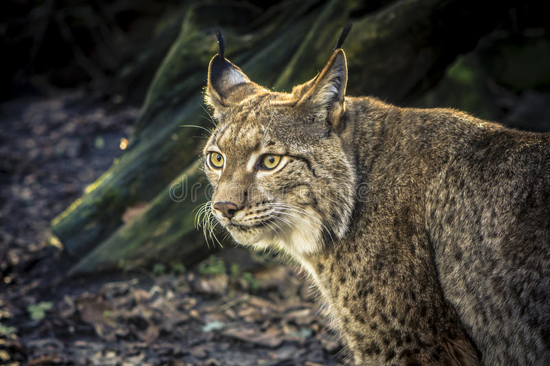 Lynx staring. Closeup of a lynx, staring in the distance royalty free stock photos