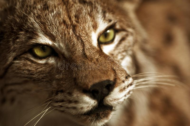 Download Lynx Taxidermy stock photo. Image of front, taxidermy - 27001066