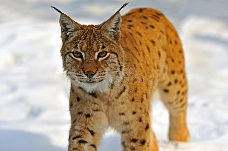 Download Lynx in their stock image. Image of wilderness, animal - 36336827