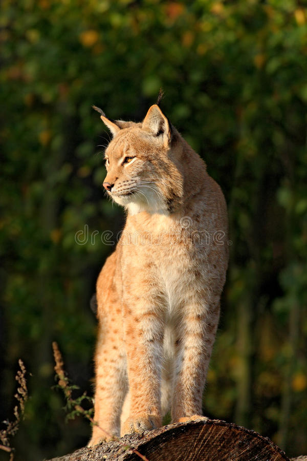 Lynx on the tree trunk. Sitting wild cat Eurasian Lynx in orange autumn leaves, forest in background. Wildlife scene in Europe. Wi. Lynx on the tree trunk stock images