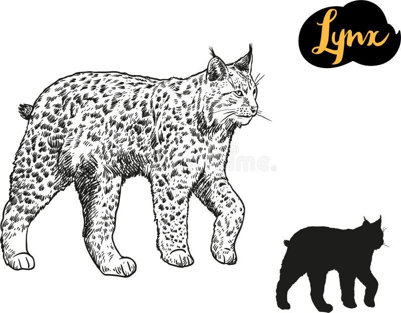 Lynx vector hand drawn illustration. stock illustration