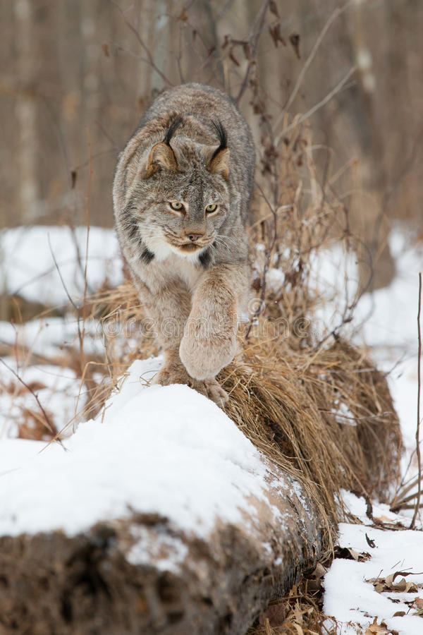 Lynx walking along forest log stock photography