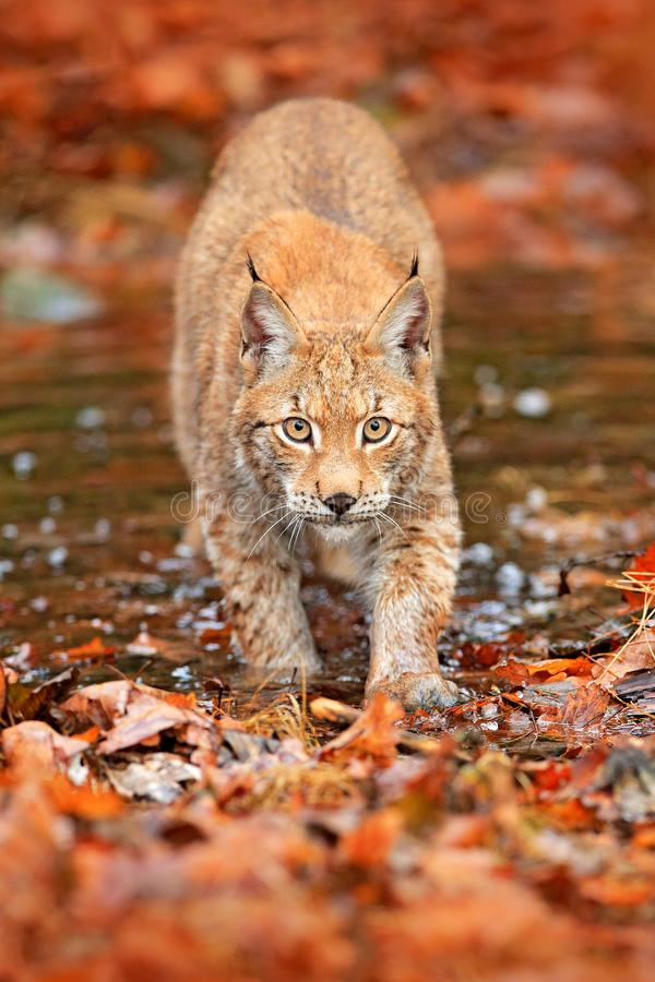 Free Lynx Walking In The Orange Leaves With Water. Wild Animal Hidden In Nature Habitat, Germany. Wildlife Scene From Forest, Germany. Stock Images - 132574754