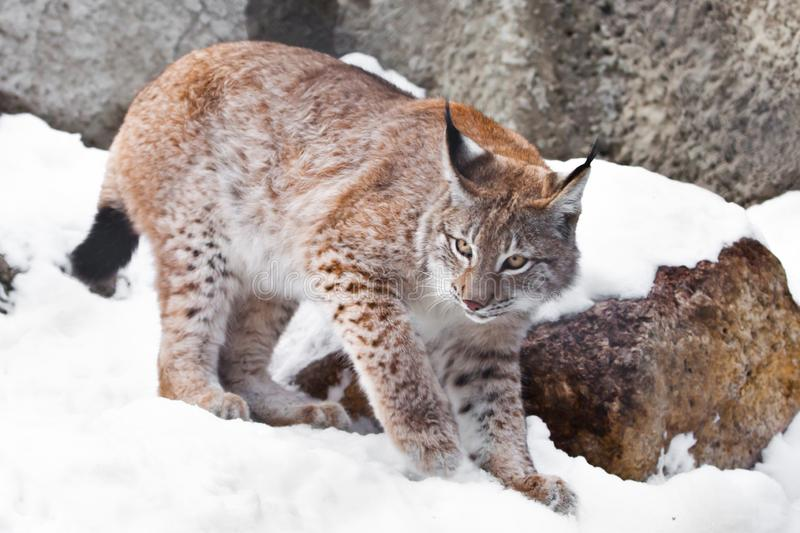 The lynx walks on snow covered stones, hissing angrily and grinning. wild predatory cat. The lynx walks on snow-covered stones, hissing angrily and grinning stock images