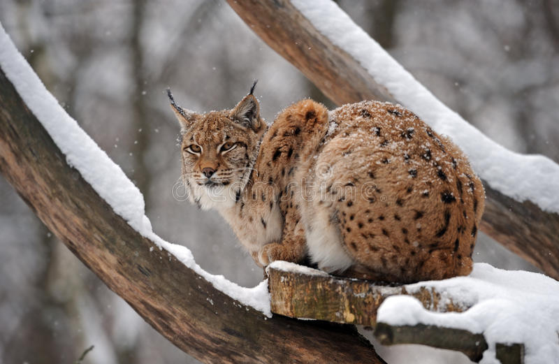 Download Lynx in winter stock photo. Image of snow, stare, arctic - 23017402