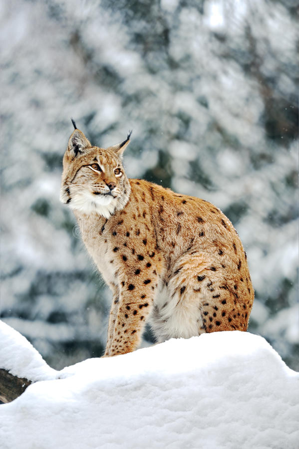 Download Lynx In Winter Royalty Free Stock Image - Image: 23404386