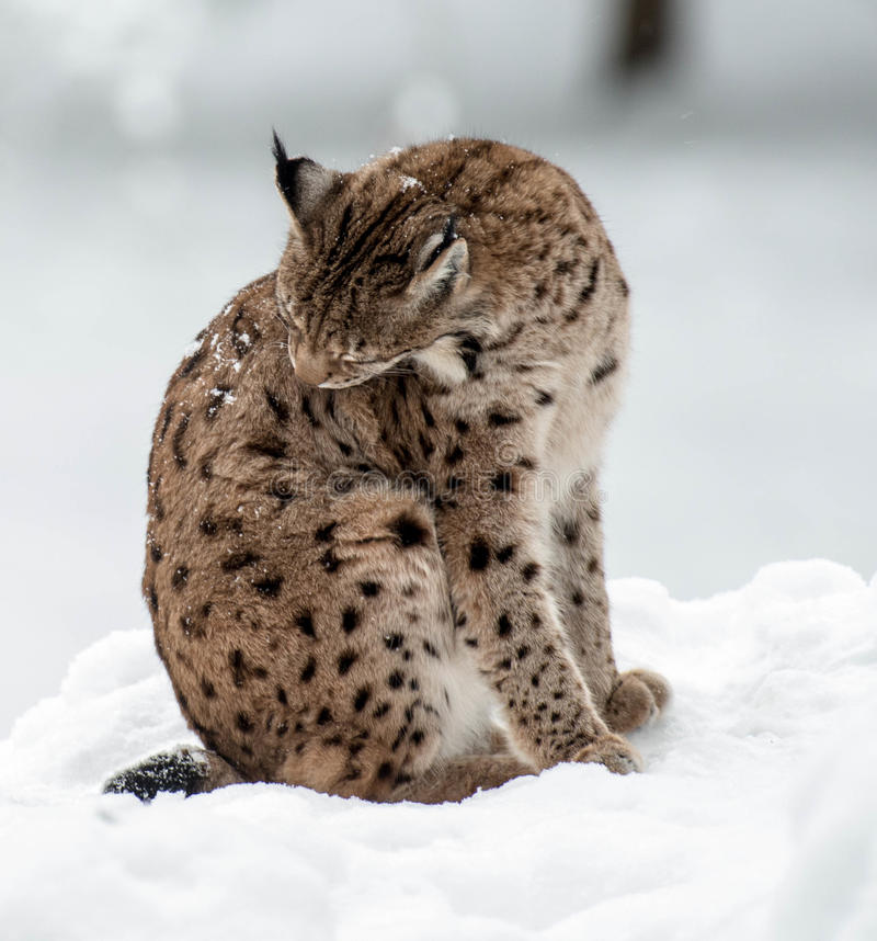 Lynx In Winter Royalty Free Stock Photos