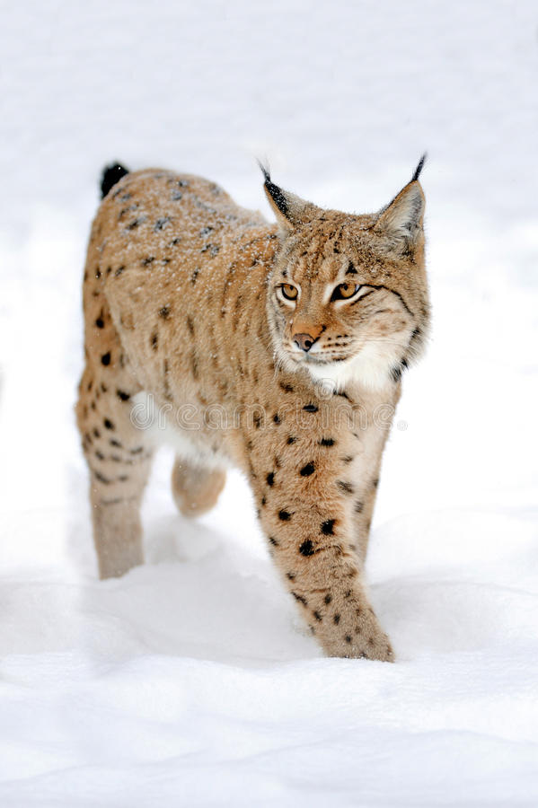Lynx in winter. Beautiful wild lynx in winter stock photos