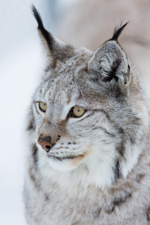 Download Lynx in the winter stock photo. Image of carnivore, nobody - 39182202