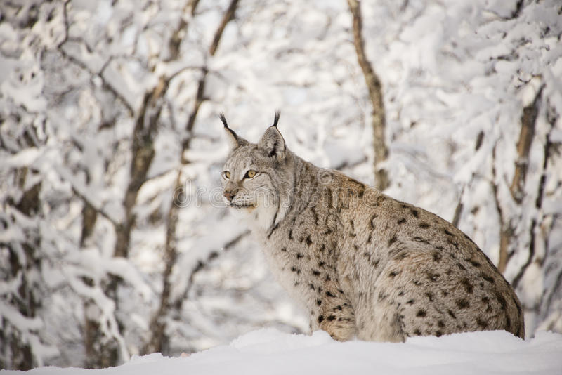 Lynx. In a winter forest stock photography