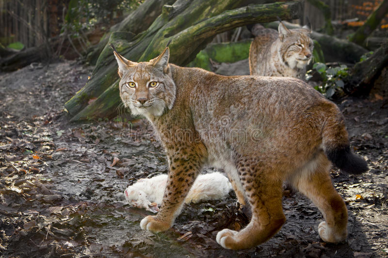 Lynxes with prey. Two lynxes with their prey royalty free stock image