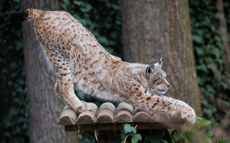 Lynxlynx of Europees-Aziatische lynx stock foto