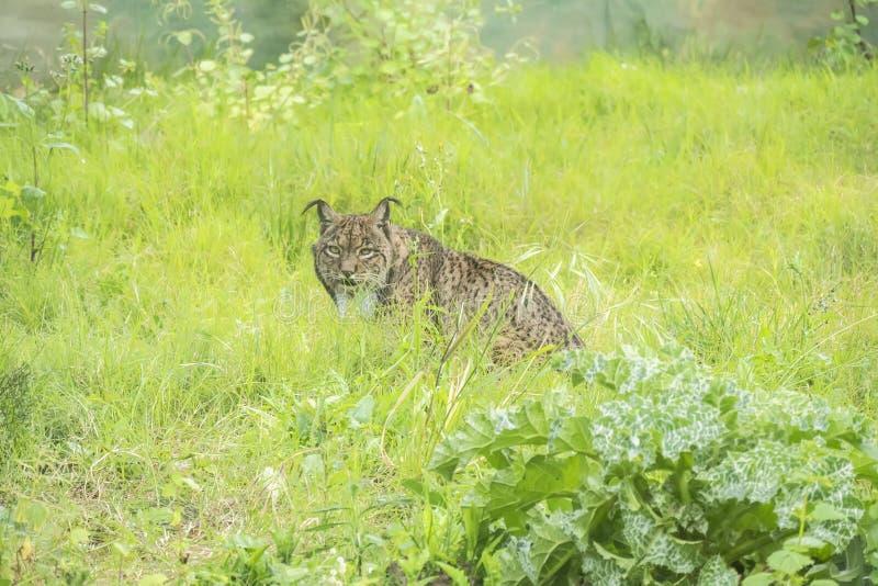 Lynxpardinus, Iberische lynx royalty-vrije stock foto