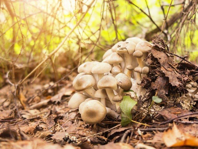 Lyophyllum decastes paddestoelen in het de herfstbos royalty-vrije stock afbeelding
