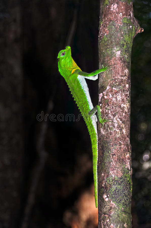Free Lyre-headed Lizard On The Treе. Close Up. Stock Photography - 66855312
