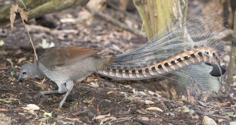 Lyrebird fotografia stock