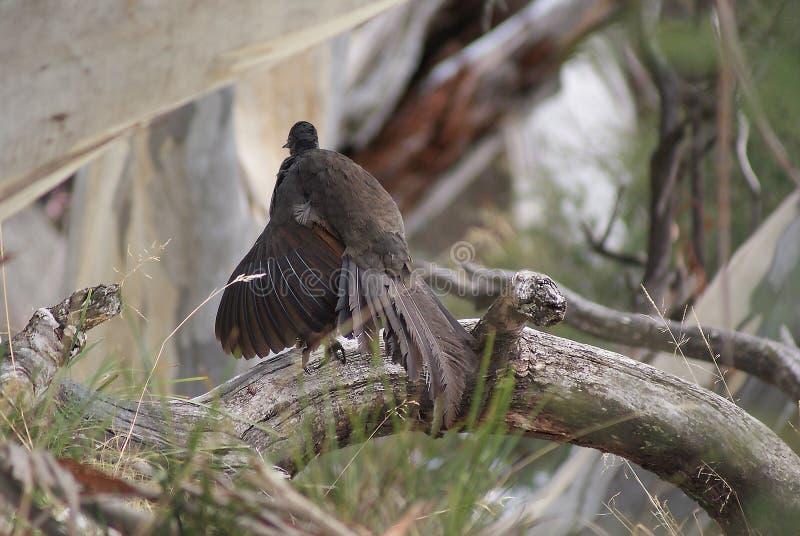 Lyrebird na beli obrazy royalty free