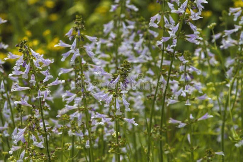 Lyreleaf λογικό lyrata Wildflowers - Salvia στοκ εικόνα