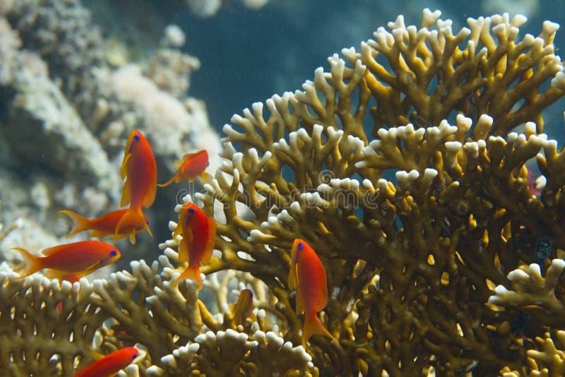 Lyretail Anthias con el coral neto del fuego en el Mar Rojo fotografía de archivo