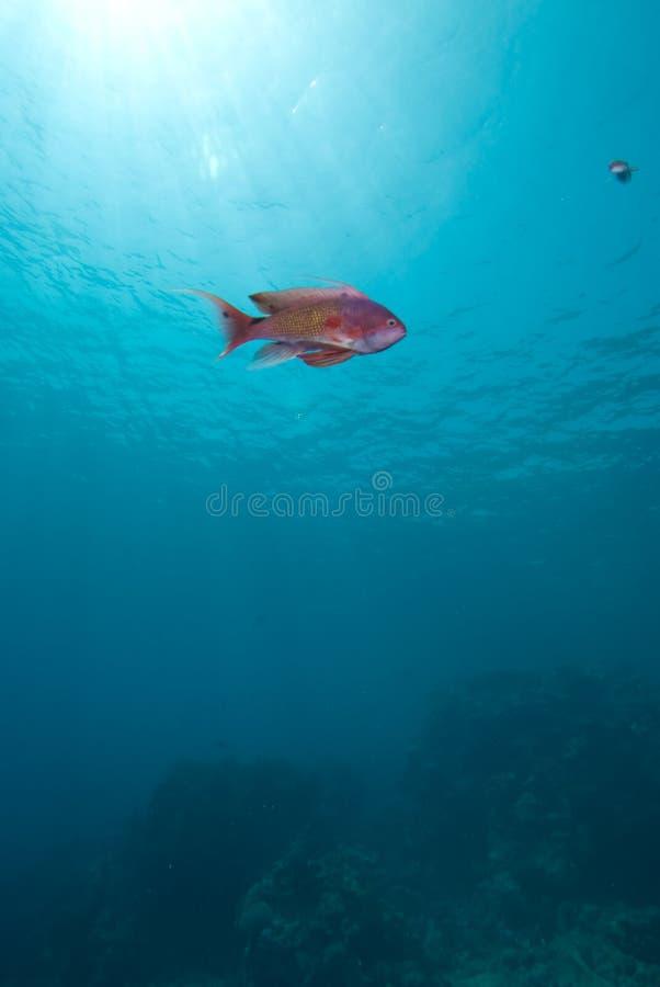 Free Lyretail Anthias (Pseudanthias Squamipinnis) Stock Photo - 11386400