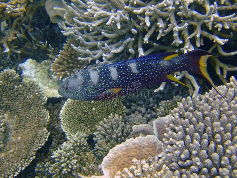 lyretail Giallo-orlato, atollo del sud di Ari, Maldives fotografie stock libere da diritti