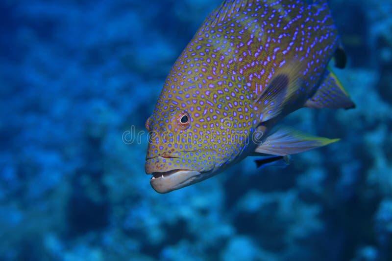 lyretail grouper стоковые фото