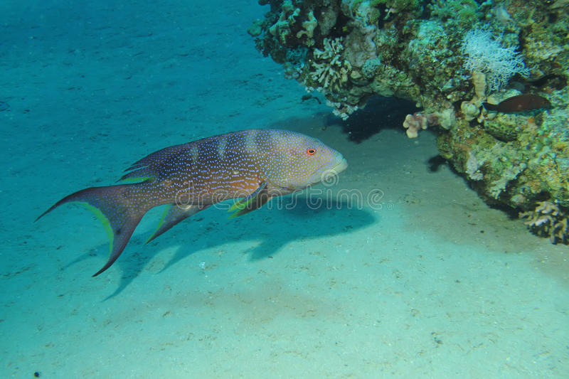 Lyretail grouper. (Variola louti). Taken at Ras Mohamed in Sharm el Sheikh stock photos