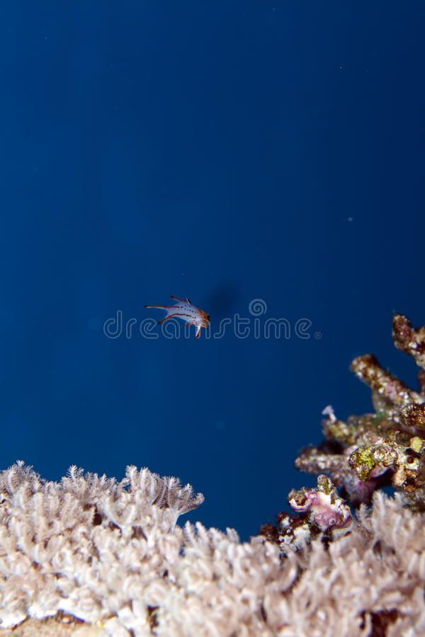 Download Lyretail Hogfish In The Red Sea. Stock Image - Image: 23486697