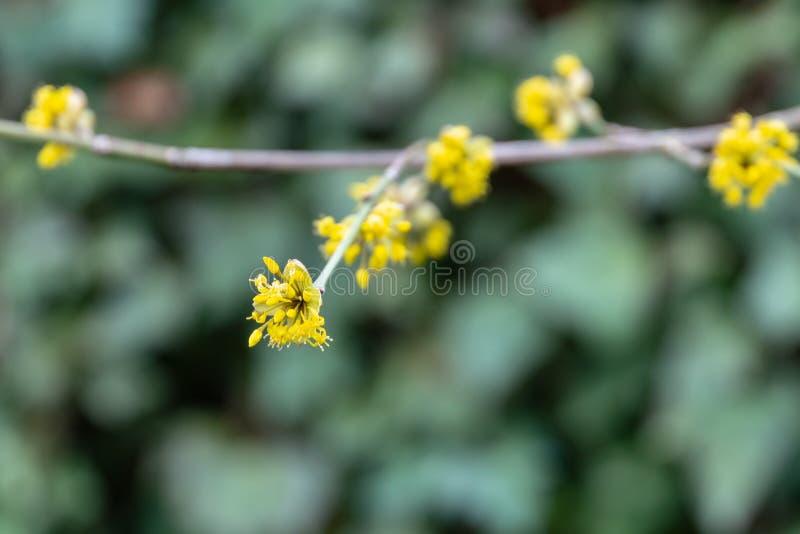 Lyrischer Zweig mit gelben Blumen auf unscharfem Efeu Hederaschneckenhintergrund Weiche selektive MakrofokusKornelkirschebl?te lizenzfreie stockbilder