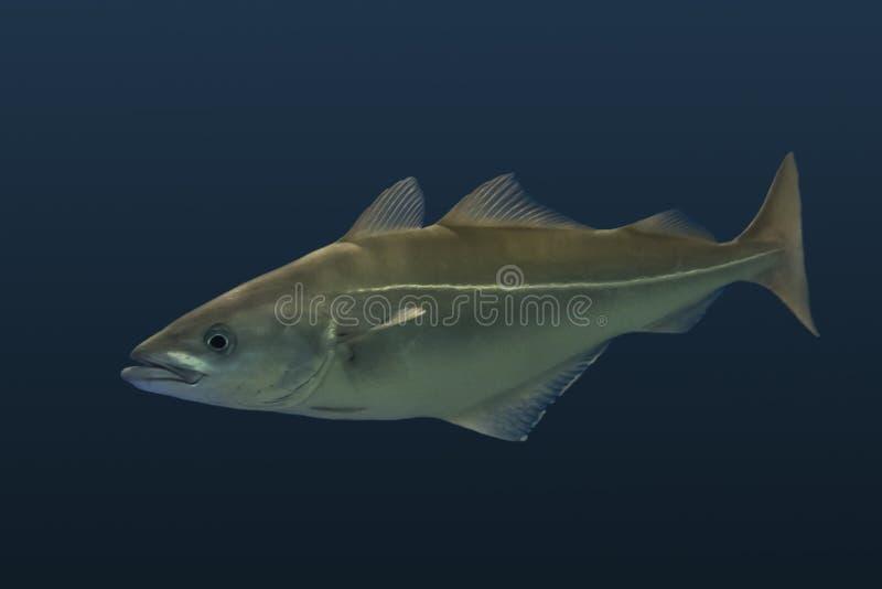 Lyrtorsk - atlantisk eller europeisk lyrtorsk för Pollachiuspollachius royaltyfri fotografi