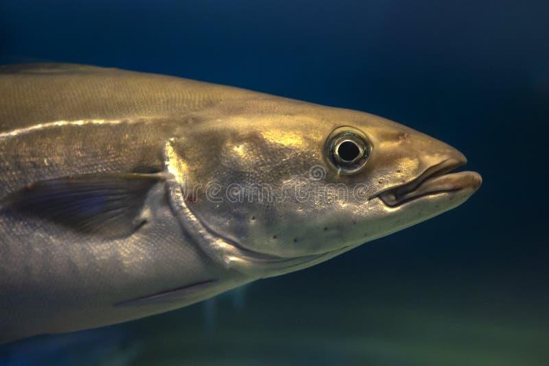 Lyrtorsk - atlantisk eller europeisk lyrtorsk för Pollachiuspollachius arkivbild