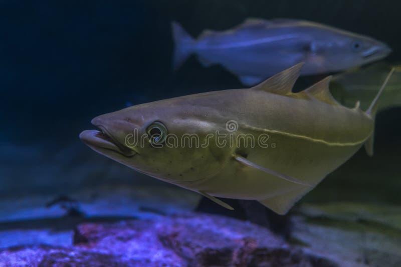 Lyrtorsk - atlantisk eller europeisk lyrtorsk för Pollachiuspollachius arkivfoto