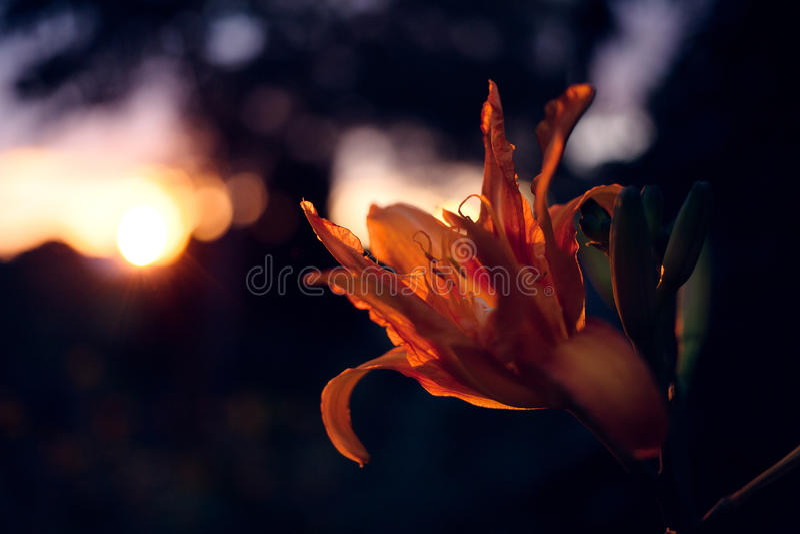 Lys blomma på solnedgången royaltyfri foto