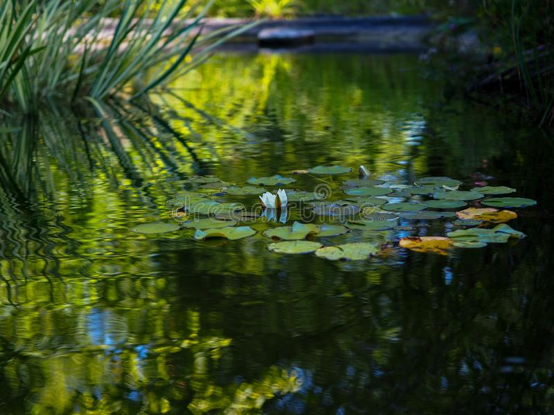 Lys d'eau blancs sur l'étang de Westfalenpark, Dortmund en Allemagne images libres de droits