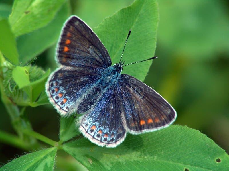Lysandra bellargus. lizenzfreie stockbilder