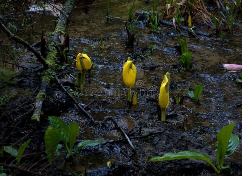 Lysichiton americanus 03 zdjęcie stock