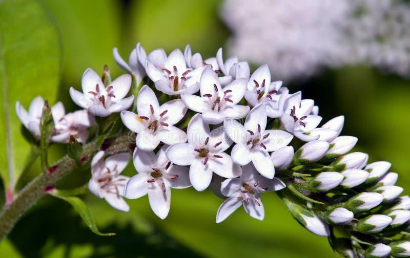 Gooseneck Loosestrife Flower Royalty Free Stock Image