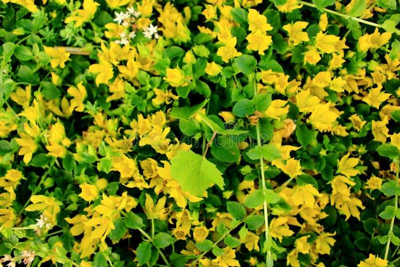 Lysimachia Nummularia стоковые изображения rf