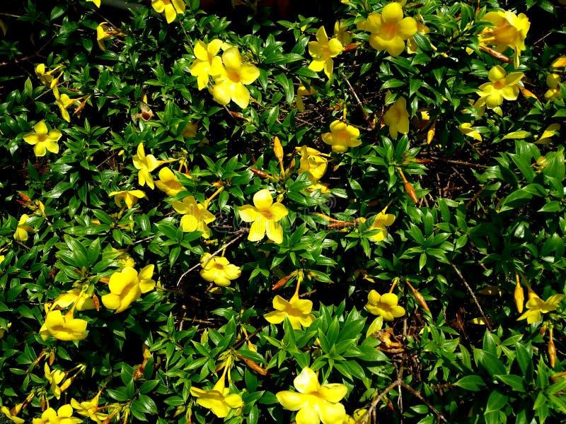 Lysimachia vulgaris El Lysimachia vulgaris, la lisimaquia amarilla o la lisimaquia de jardín, es una especie de flor perenne herb fotografía de archivo libre de regalías