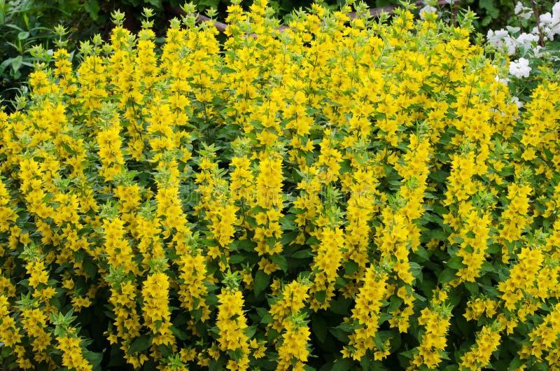 Lysimachia vulgaris oder gelbe Loosestrife. Viele blühende Blumen im Garten. Sommer, Juli, Mittag lizenzfreie stockfotografie