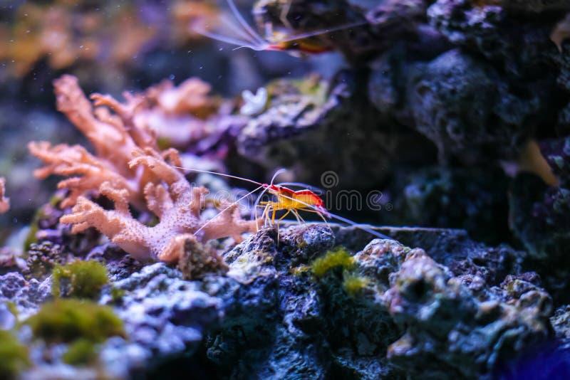 Lysmata amboinensis cleaner shrimp in marine aquarium. Close up red shrimp in sea aquarium stock images