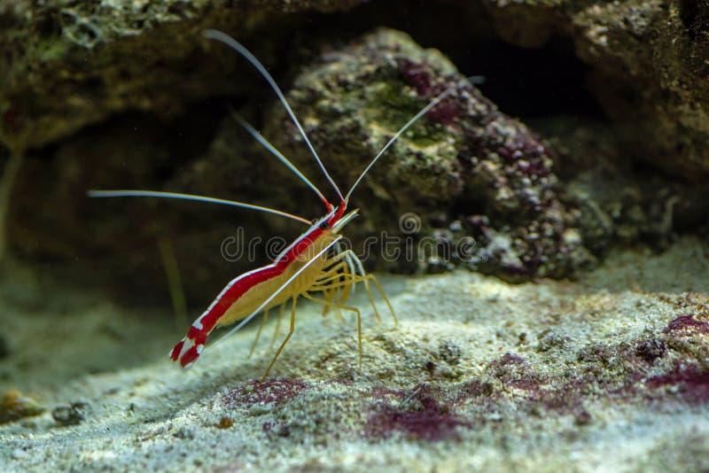 Lysmata amboinensis cleaner shrimp in marine aquarium stock photo