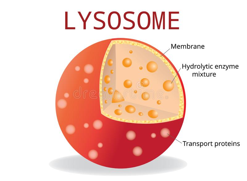 Lysosome Hydrolytic enzymes, Membrane and transport proteins, royalty free illustration