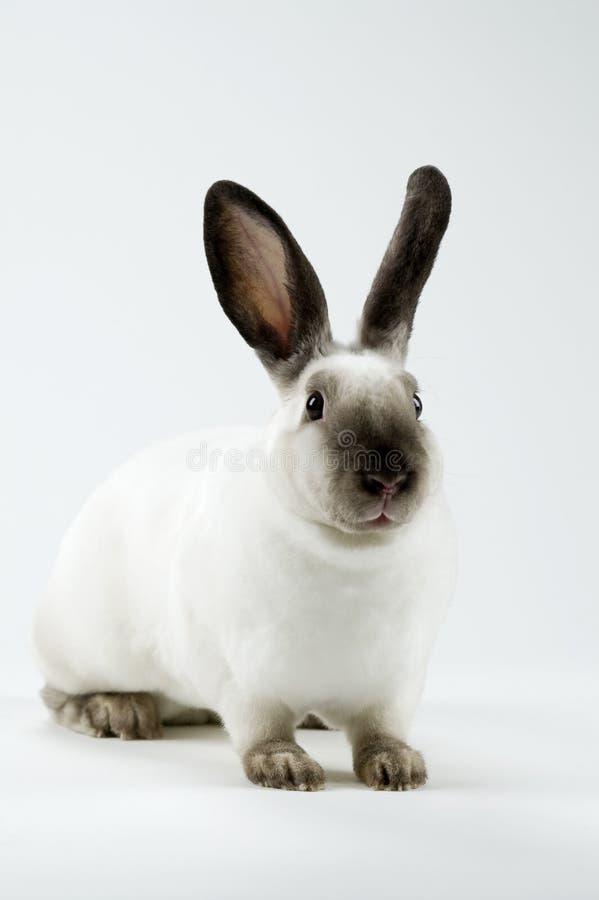 lyssnande kanin arkivfoton