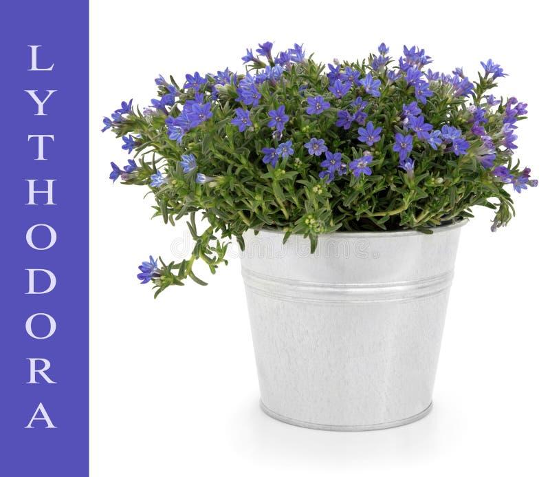 Download Lythodora Anlage stockfoto. Bild von weiß, enzian, potentiometer - 26368630