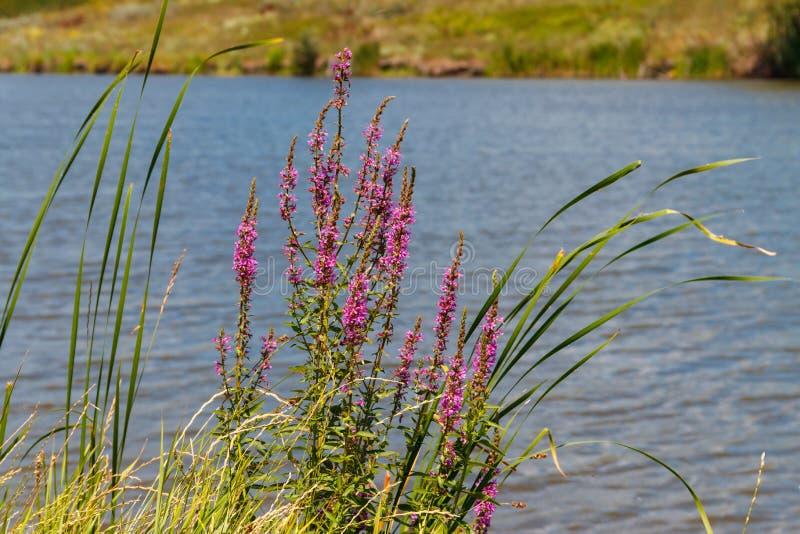 Lythrum Salicaria пурпурного вербейника цветет дальше lakeshore стоковая фотография rf