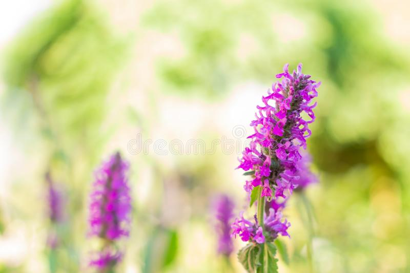 Lythrum salicaria flower blooming, common names are purple loosestrife, spiked loosestrife, or purple lythrum royalty free stock photography