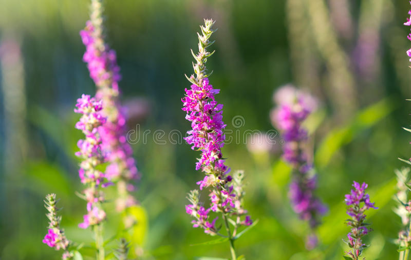 Lythrum salicaria, (Purple loosetrife) weed flower at a lakeside. It is a flowering plant belonging to the family Lythraceae stock photos